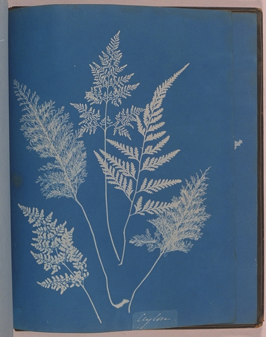 Cyanotype from 'Cyanotypes of British and Foreign Ferns', 1853, Anna Atkins © National Media Museum, Bradford / SSPL. Creative Commons BY-NC-SA