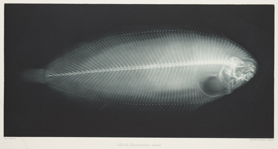 Solfisch (Pleuronectes Solea), 1896, Eduard Valenta and Josef Maria Eder, National Media Museum, Bradford / SSPL. Creative Commons BY-NC-SA